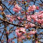 稲取文化公園の河津桜が!