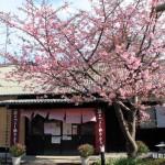 稲取文化公園の河津桜開花状況