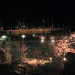 稲取文化公園の河津桜が夜間ライトアップされています!