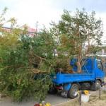 3月17日、稲取文化公園に椿の木を植えました!