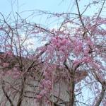 稲取文化公園に枝垂れ桃が咲き始めました!