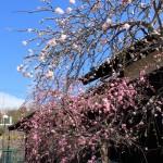 枝垂れ桃、じゃなくて「枝垂れ桜」でした(汗)